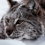 The beautiful Lynx ISO 400   55mm   ƒ/5.6  1/160 sec