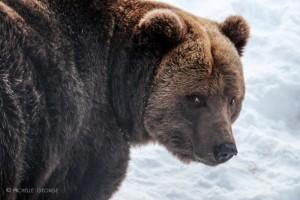 Bear with a sore head  The beautiful Lynx ISO 1250   122mm   ƒ/5.6  1/80 sec